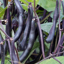 Haricot Nain mangetout Purple Teepee