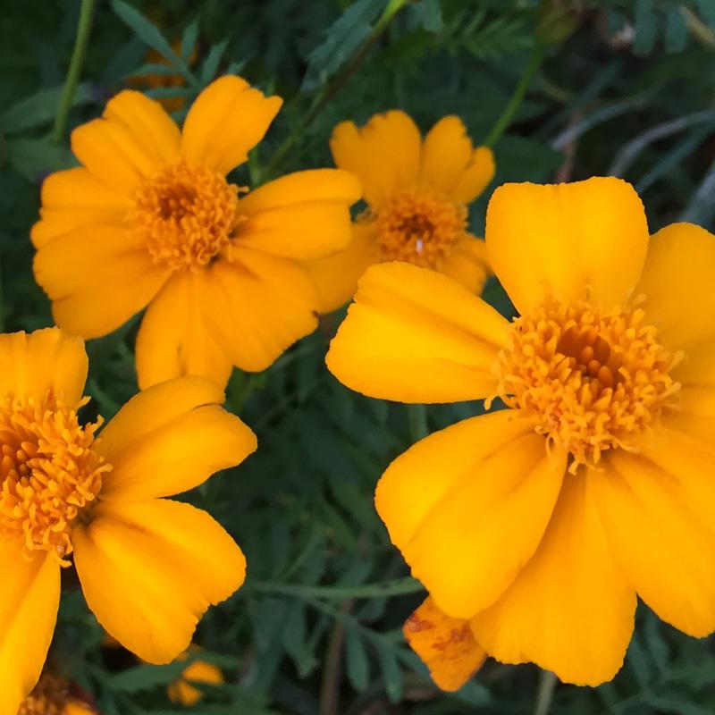 Tagète tenuifolia Sterafrikaantje Geel