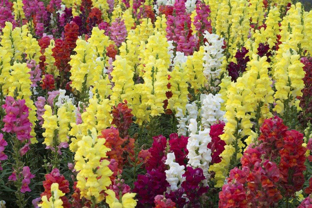 Muflier multicolore