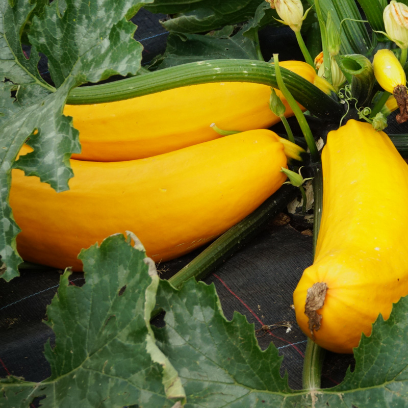 Courgette Goldrush